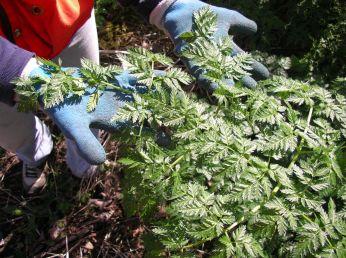 Poison-hemlock's bright green, fern-like, musty leaves.