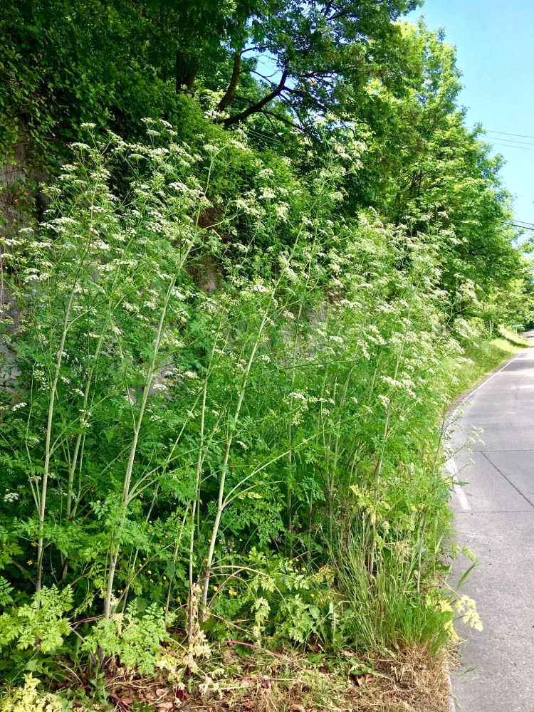 patch of poison-hemlock along a road