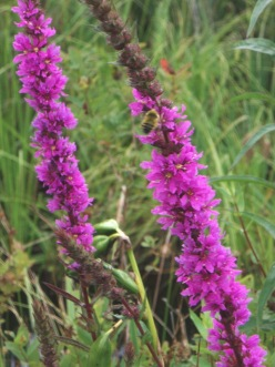Purple loosestrife's small, magenta, 5-7-petaled flowers appear in tall spikes.