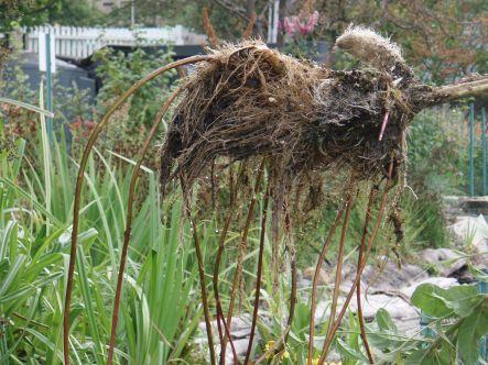 Garden loosestrife primarily spreads via long creeping rhizomes.