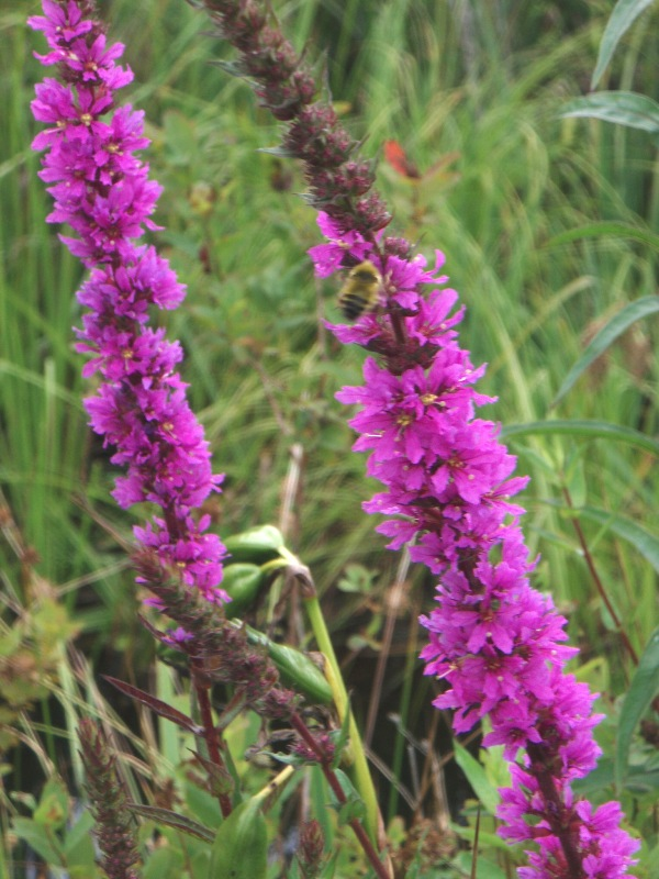 purple loosestrife flower stalks with honeybee