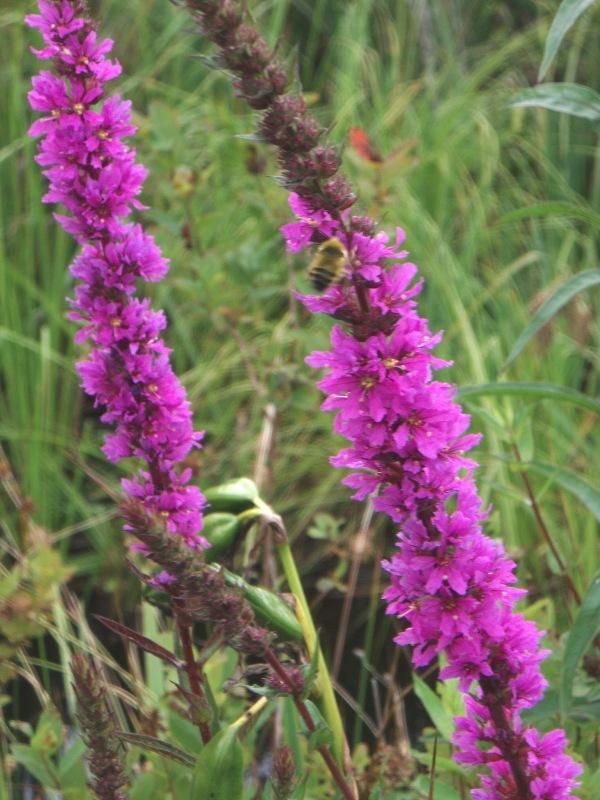 purple loosestrife flower stalks with honeybee