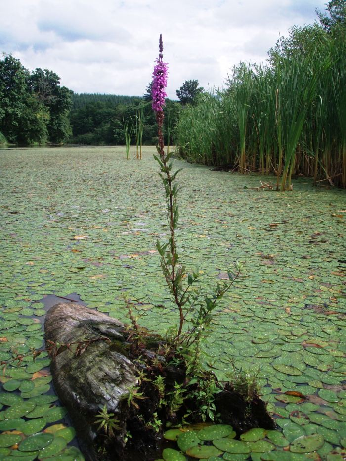 purple loosestrife on log in lake
