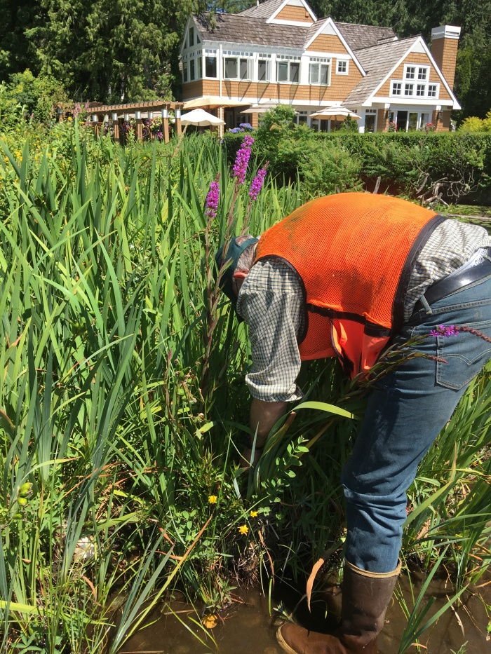 purple-loosestrife-pulling-Steve-AmesLake-12July2017-BMP