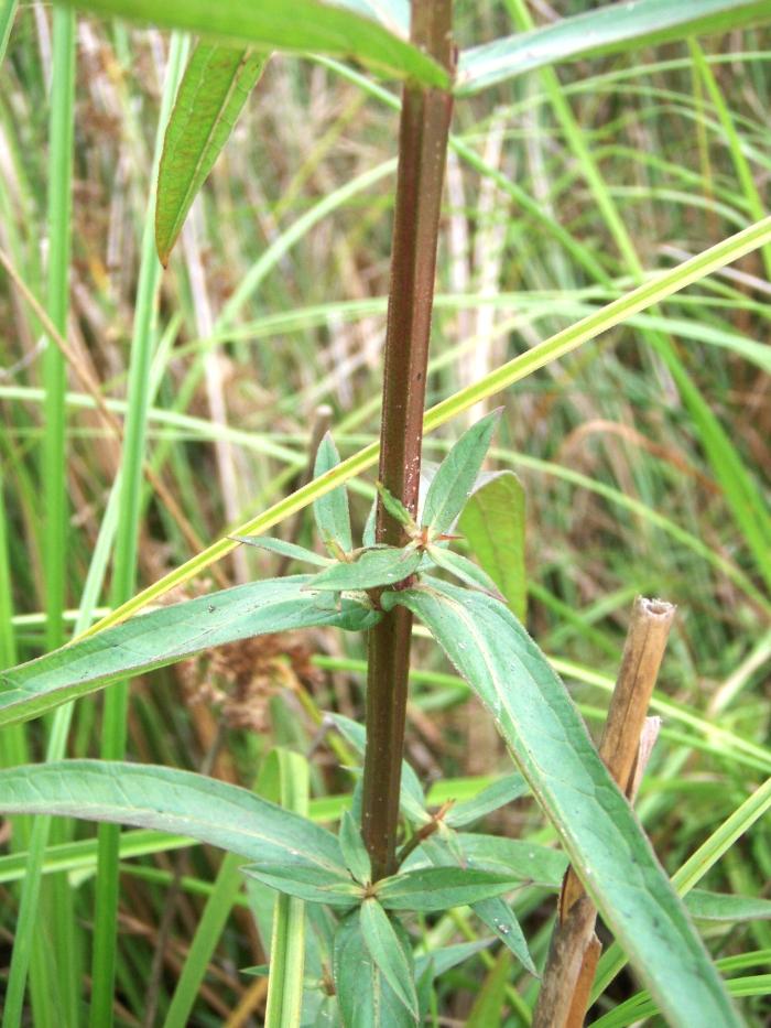 purple loosestrife stem and leaves