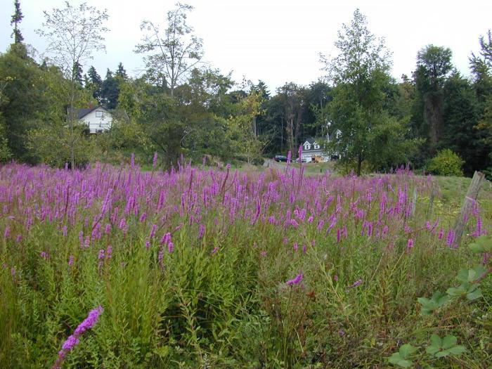 purple-loosestrife-wetland-infestation