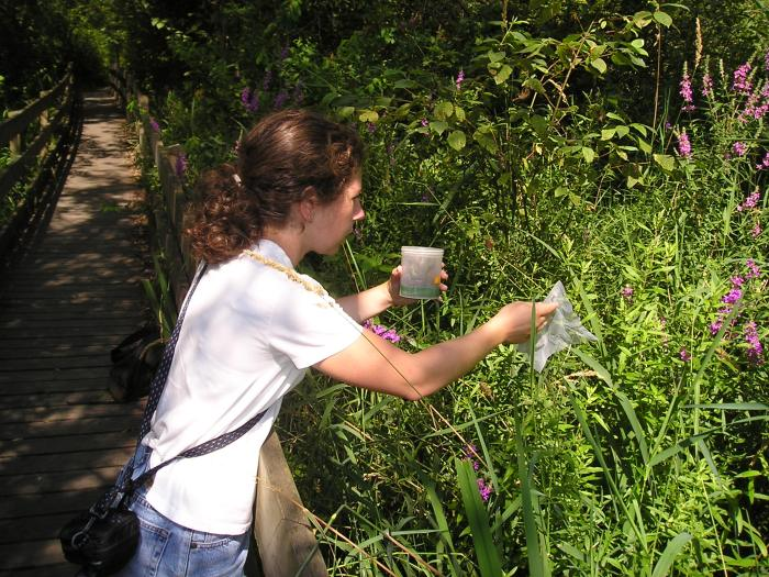 releasing galerucella beetles on purple loosestrife