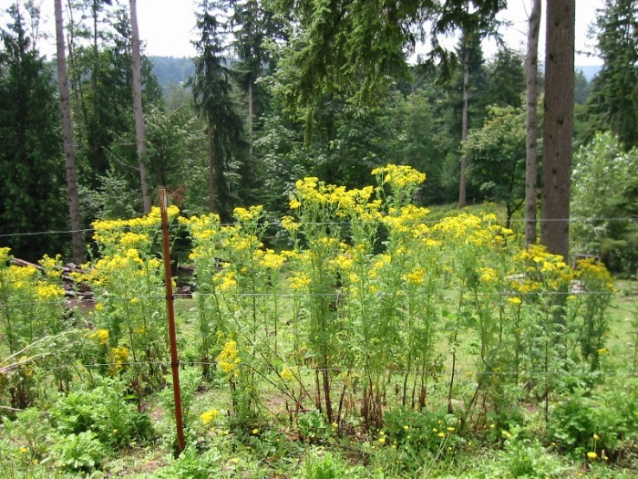 tansy-ragowrt-Duvall