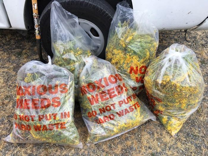 tansy ragwort bags