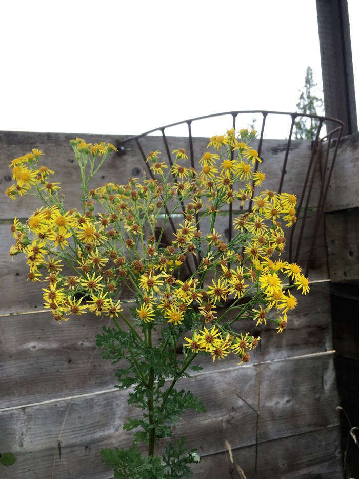 tansy ragwort in stall