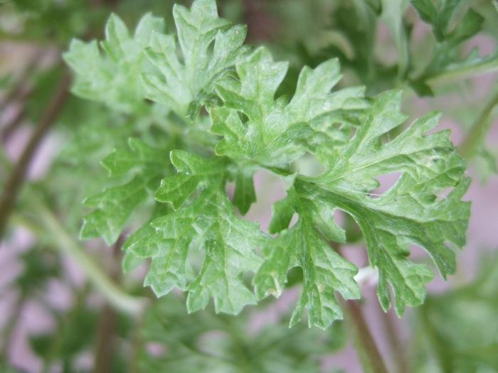 tansy-ragwort-leaf.jpg