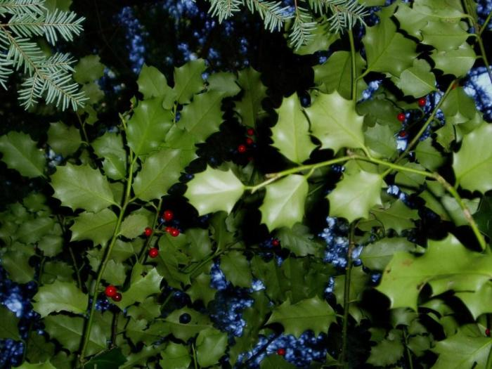 holly stems with berries in a dark canopy