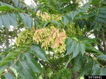 Tree-of-heaven, a host plant for spotted lanternfly. Photo credit Richard Gardner, Bugwood.org.