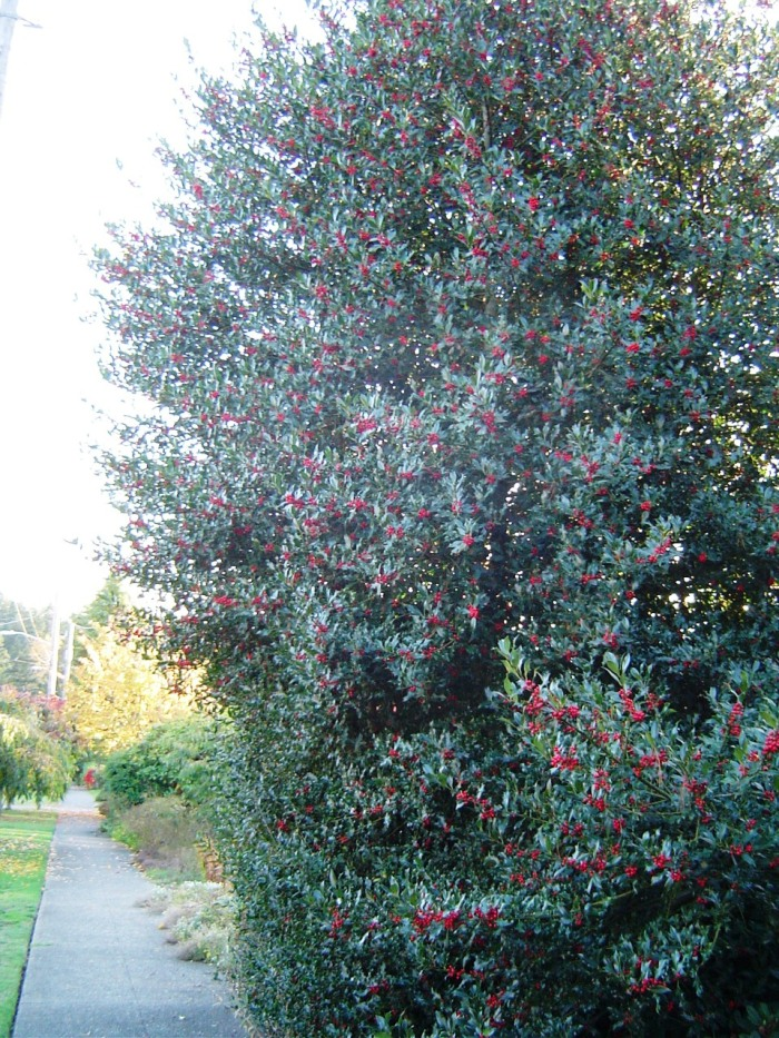 holly-tree-with-berries-planted-on-sidewalk-SRowe