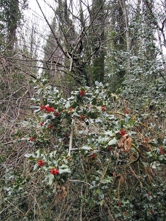 holly-with-berries-Magnuson-Park-KMessick
