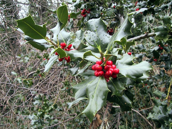 holly-with-berries-closeup-Magnuson-Park-KMessick
