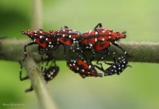 Spotted lanternfly nymphs. Photo provided by Dr. Chris Looney, WSDA.