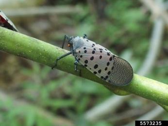 Spotted lanternfly on tree-of-heaven. Photo credit Emelie Swackhamer, Penn State University, Bugwood.org