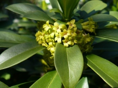 Spurge laurel (Daphne laureola) flowers up close