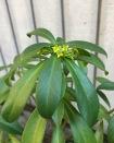 spurge laurel flowering