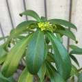 spurge laurel flowering