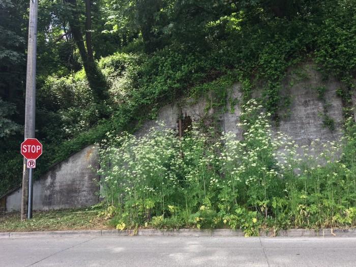 poison-hemlock-roadside-stop-sign-Seattle-MWinkler-05242018