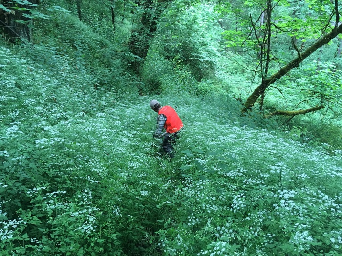 Rough-chervil-chaerophyllum-temulum-large-patch-Soos-Creek-ErinHaley-05302017-IMG_0019
