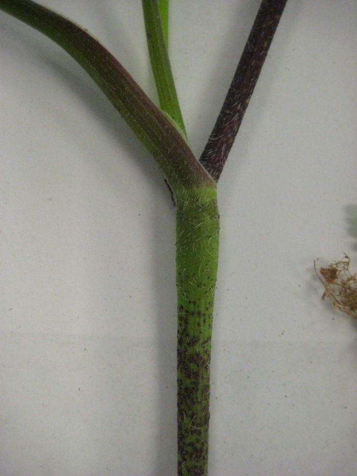 rough-chervil-chaerophyllum-temulum-stem-swollen-node-May2011-SHS