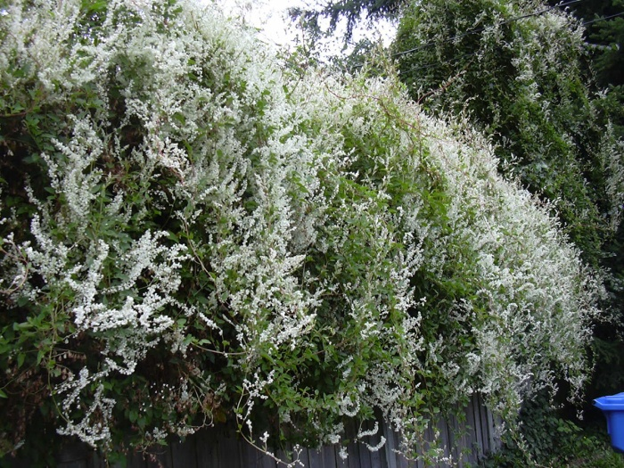 silver-lace-vine-flowering-on-fence