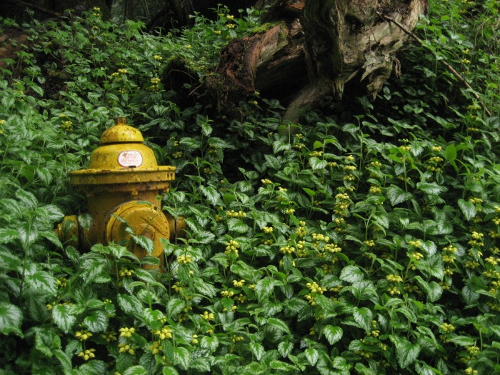 Yellow archangel crowding around a fire hydrant in a wooded park.