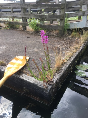 purple loosestrife plants growing on the edge of a dock
