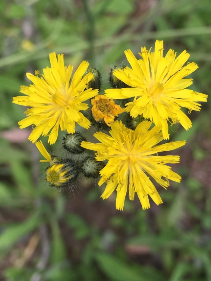 yellow hawkweed flowers from above