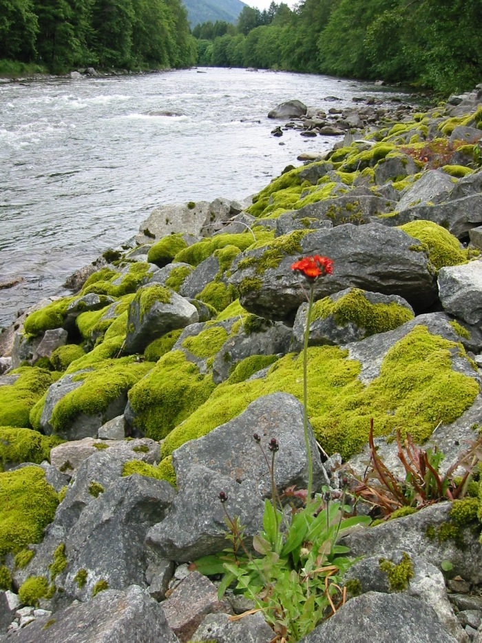 orange-hawkweed-flowering-plant-Skykomish-River