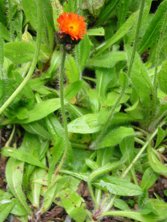 small orange hawkweed plant