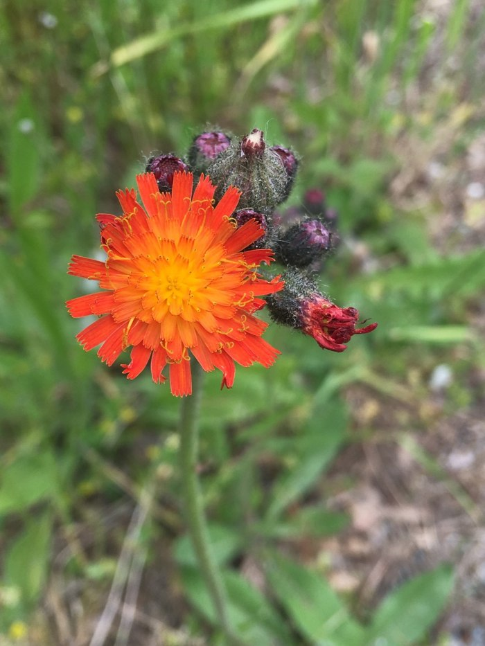 close up of orange hawkweed flowers