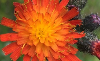 closeup of orange hawkweed flower
