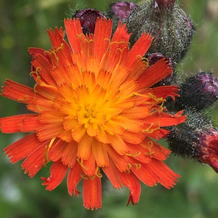 orange-hawkweed-IMG_1889-06052019-Hobart-TomErler