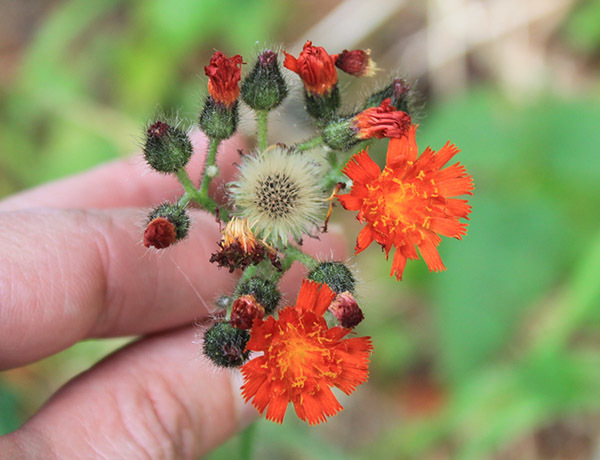 orange hawkweed starting to go to seed