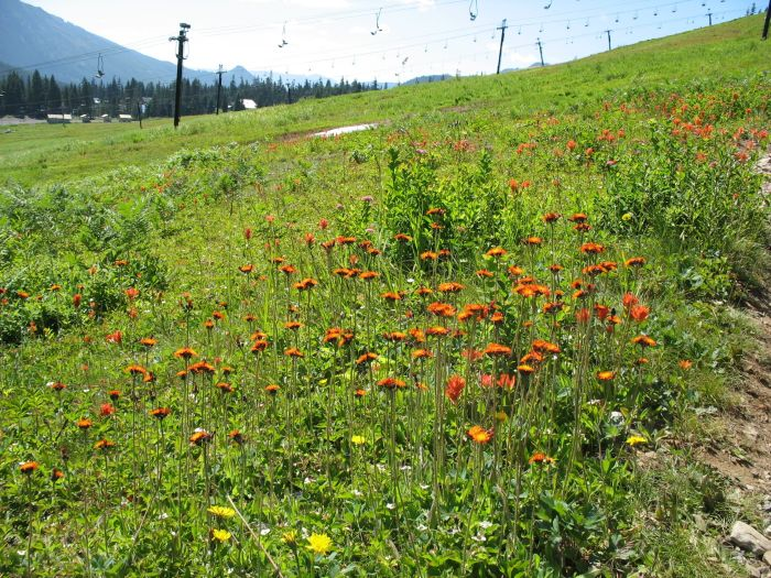 orange hawkweed growing on the ski slopes