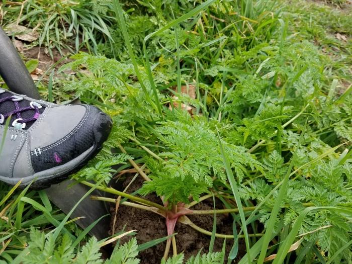 shovel digging up poison-hemlock plant