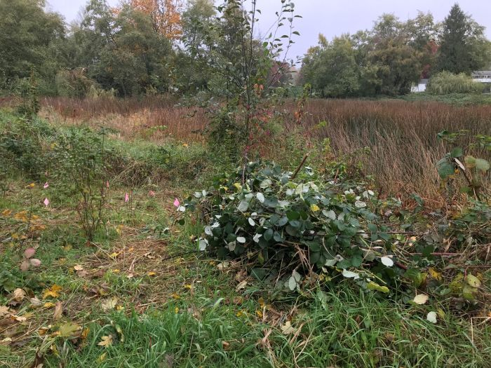 pulled blackberry and new native plantings at Seola Pond