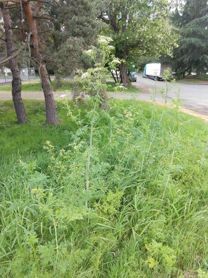 Flowering poison-hemlock plant