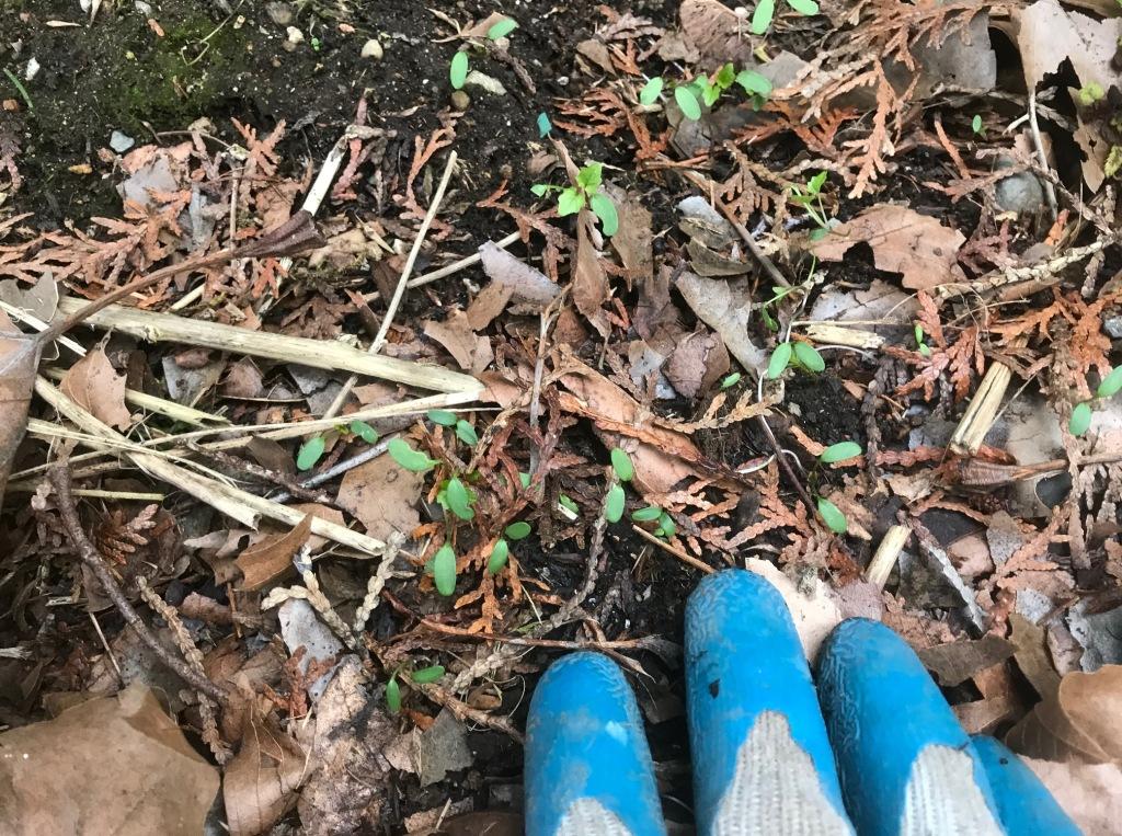 Garlic mustard seedlings in early March