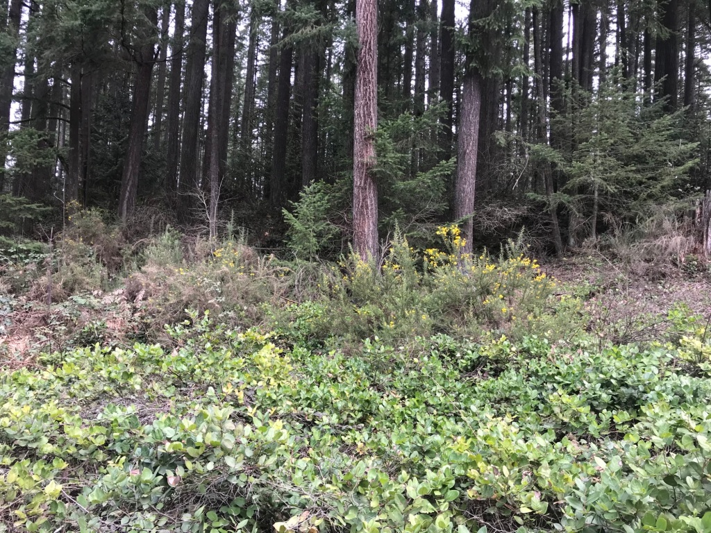 Gorse plants in the woods in Fall City