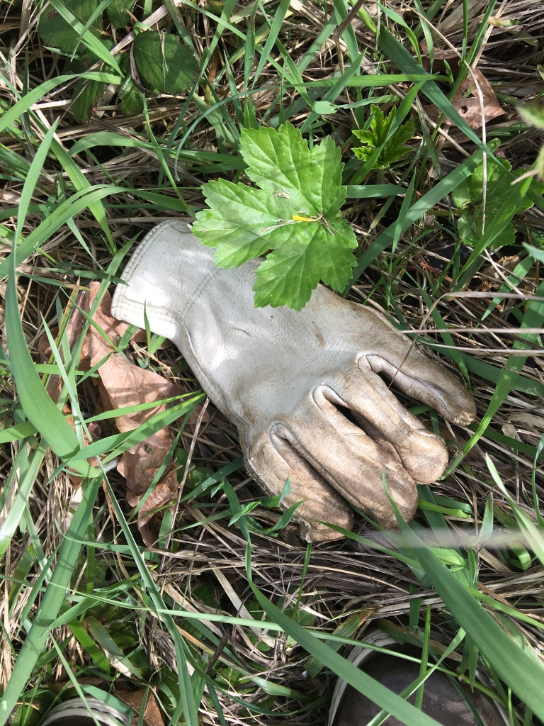 Young hogweed leaf by glove in March