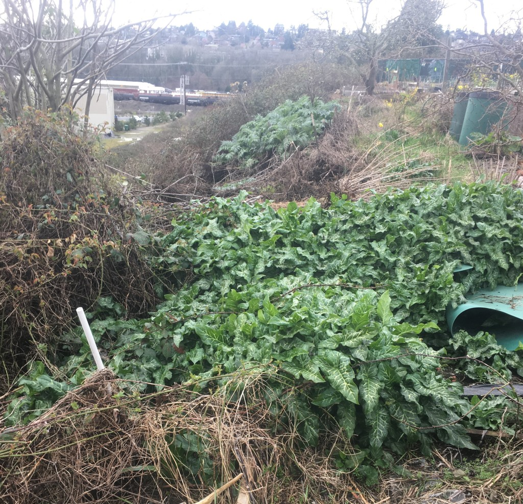 Italian arum and other weeds at a yard waste dump site