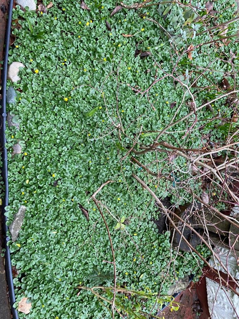 Lesser celandine infestation from contaminated topsoil