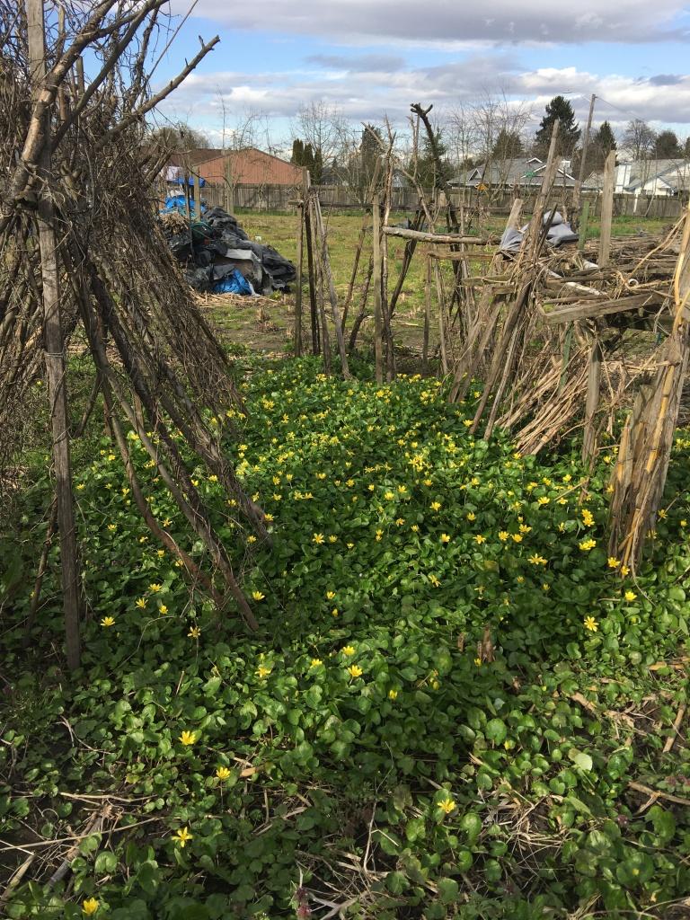 Lesser celandine at Marra Farm in March