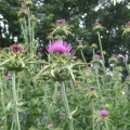 milk thistle flowering stems
