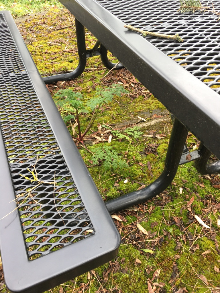 Poison-hemlock under a picnic table